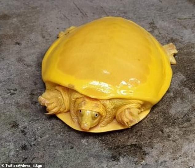 Редкая желтая черепаха-альбинос, очень похожая на плавленый сыр для бургера, была обнаружена в индийском болоте
