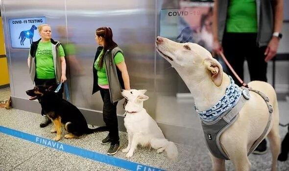 Собаки в аэропорту «почти со 100% точностью» обнарживают Ковид на пять дней раньше, чем тестирование