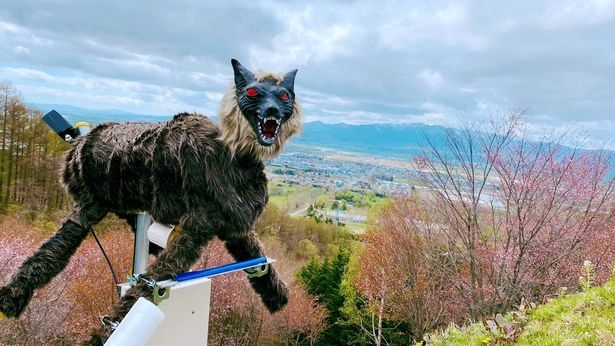 Монстр робот-волк был установлен в ответ на шквал смертоносных атак медведя