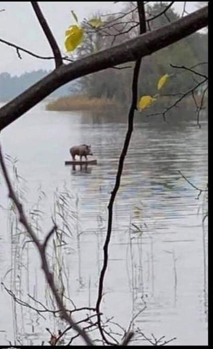 Чучело кабана на самодельном плоту сбежало с Украины, несмотря на усилия пограничников
