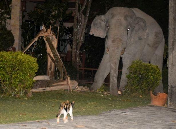 Крошечный кот яростно прогоняет четырех тонного слона, забредшего в его сад