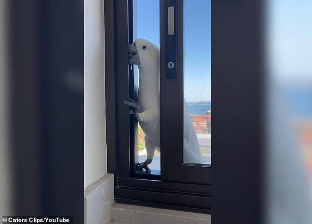 Дерзкий какаду просовывает голову и говорит «Привет» хозяйке квартиры, куда он прокрался через окно