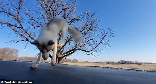 Лиса гимнастка! Спасенная лиса прыгает на батуте в фильме, снятом в заповеднике дикой природы