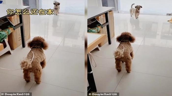 Побежали! Смешной момент пес старается уговорить своего лучшего друга пуделя пойти поиграть