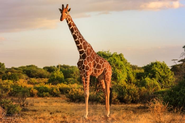Новое исследование предполагает, что жирафы привлекают удары молнии своим высоким ростом