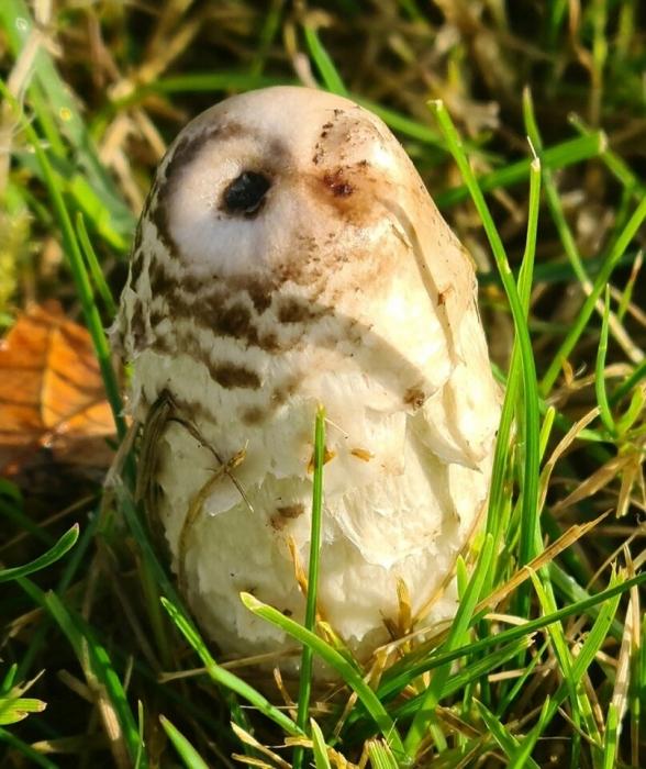 Женщина подумала, что это мать-сова, которая пытается найти своего детеныша, а оказалось, что это гриб