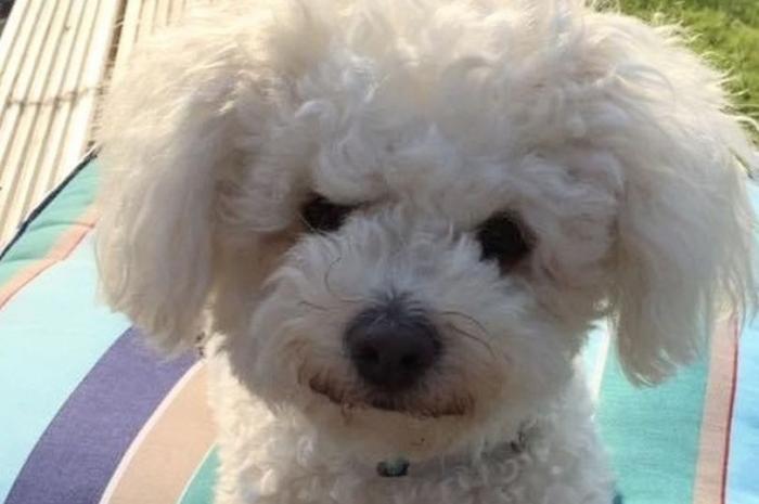 Выкупанная собака стала «похожей на Смурфа» после того, как прокусила чернильный картридж
