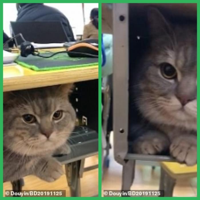 Домашний кот спокойно остается внутри стола студентки, когда она тайно принесла его в университет