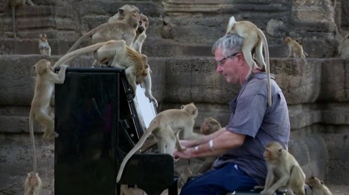 Английский пианист успокаивает голодных макак Таиланда своей музыкой