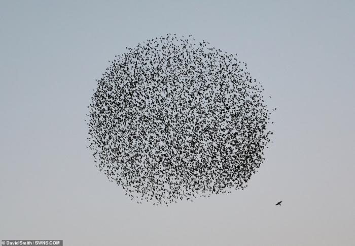 Птицы образуют черный шар в небе, когда одинокий хищник бросается на них в атаку