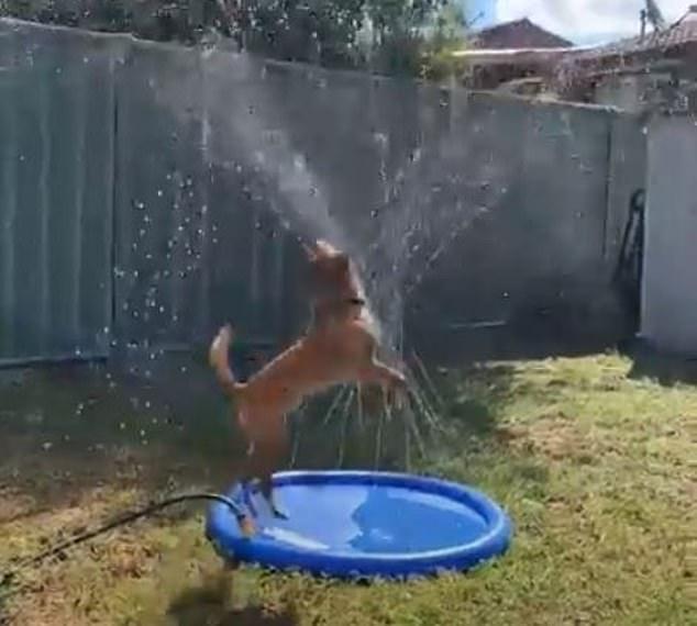 Мучающийся от жажды пес Эрроу прыгает среди водяных струек детского фонтанчика, чтобы охладиться от 27С австралийской жары