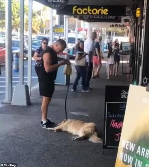 Элси, «ленивый» золотистый ретривер, не хочет идти, пока ему не предложили перекусить, - и это уже не первый раз