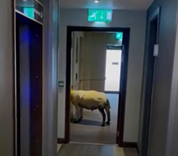 Персонал отеля был озадачен, когда они заметили овцу, ожидающую лифт в гостинице Премьер Инн в Уэльсе