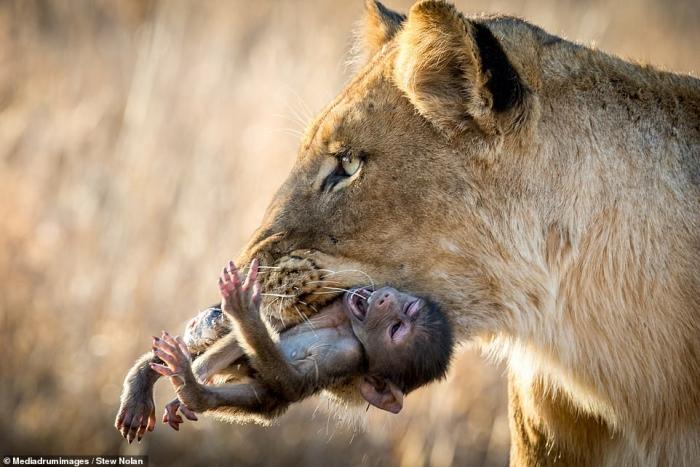 Природа в своем самом жестоком проявлении. Детёныш бабуина кричит от страха и боли, когда львица играет с ним, прежде чем убить