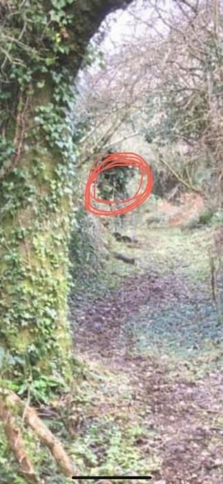 Было замечено «Лицо ведьмы» скрывающееся в деревьях призрачного леса Северного Уэльса