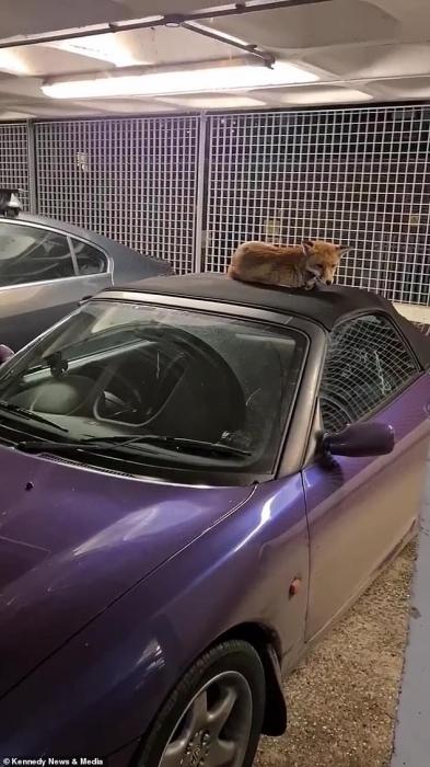 Бесстрашная лиса устроилась поудобнее на мягкой крыше автомобиля и отказывается слезать