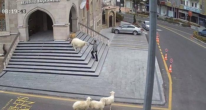 Коза, овца и три ягненка вызвали хаос после того, как появились в мэрии турецкого городка