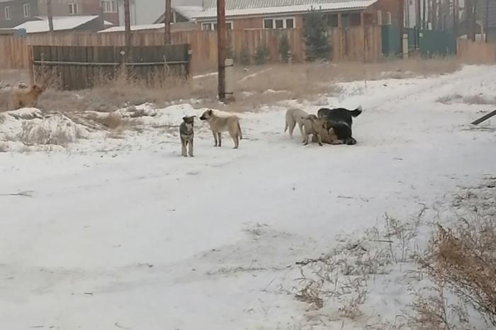 В Улан-Уде бродячие собаки напали на девушку и школьника