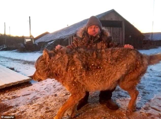 Отважный русский мужик задушил разбушевавшегося волка голыми руками после того, как зверь убил двух собак и напал на его лошадь