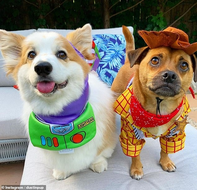 Смешной момент собака имитирует низкую походку своего коротконогого приятеля корги, волоча себя по ковру