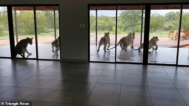 Прайд из 6 львов всполошился, когда домовладелец открыл жалюзи во внутренний дворик, где они дремали