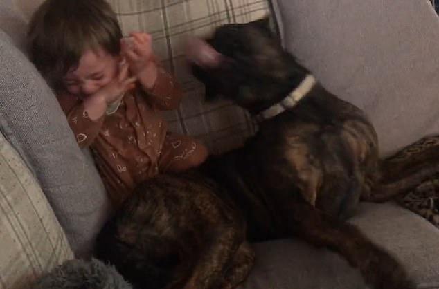 Малыш разразился неконтролируемым приступом хихиканья, когда его домашняя собака стала отчаянно лизать его, пока они играют вместе на диване