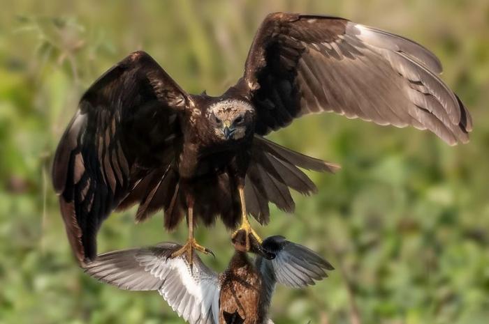 Хищная птица пикирует, хватает утку и уносит ее в когтях, пока добыча не выпала из её когтей