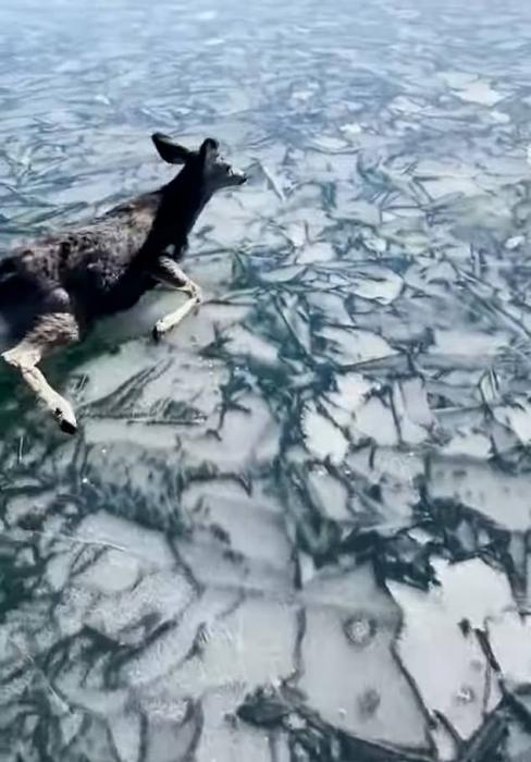 Рыбаки рискуют своей жизнью, чтобы спасти оленёнка, застрявшего на замерзшем озере