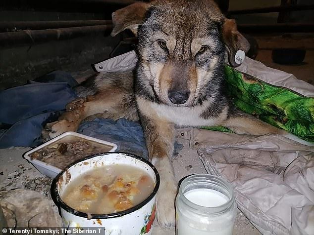 Собака, найденная примёрзшей в лёд при температуре -54С, была освобождена после того, как ее обкололи жители деревни в Сибири