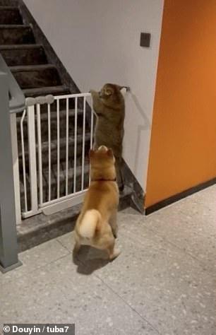 Пес не даёт своему другу-коту сбежать, удерживая его от перелезание через калитку для домашних животных