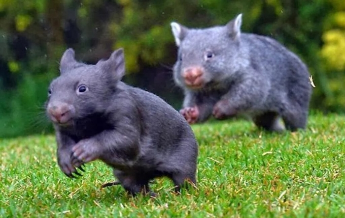 Вомбаты – единственные животные, которые какают кубиками. Теперь мы знаем почему.