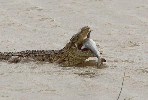 Шокирующий момент гигантский крокодил проглатывает акулу одним глотком. Ужасающая сцена
