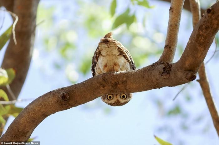 Любопытного совенка сфотографировали, когда он настороженно следит за фотографом вниз головой