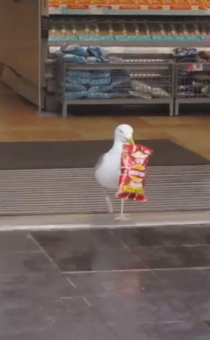 Смешной момент, чайка заходит в магазин и крадет пакетик чипсов