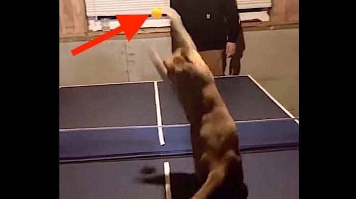 Кот Куинси играет в настольный теннис. Он, вероятно, и хвостом может подать «крученный»