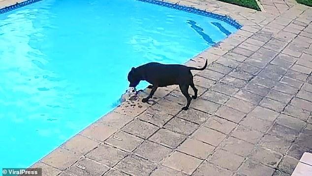 Черный стаффордширский терьер спасает маленькую собачку от смерти утонуть в бассейне на заднем дворе