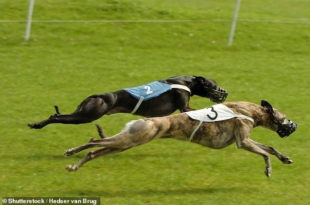 Секреты победы: победившая на собачьих бегах в Австралии гончая оказалась обколота допингом