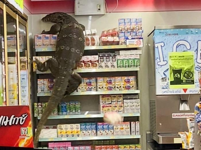 Невероятный момент «Годзилла» варан взбирается на полки тайской аптеки, а покупатели кричат от ужаса