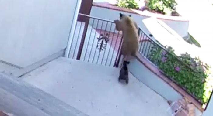 Два бесстрашных маленьких терьера выгоняют вторгшегося медведя из их дома