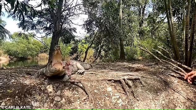 Крокодил Тедди – ленивый и не умеет ловить мясо, которое ему бросают туристы!