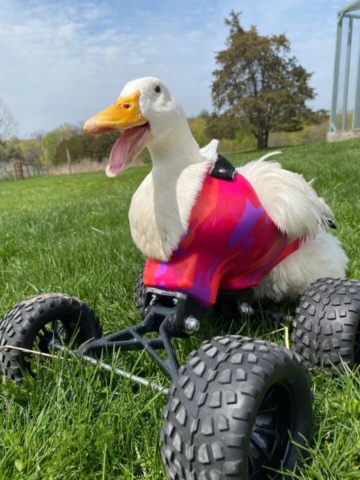 Утка, парализованная лисой, снова учится ковылять благодаря инвалидной коляске