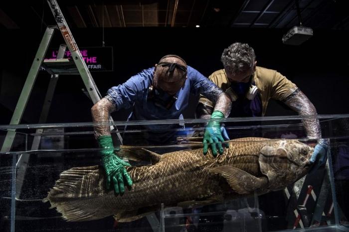 Охотники за акулами находят в океане 420-летнюю, якобы вымершую ископаемую рыбу, у которой четыре плавника. Она оказалось живой и здоровой