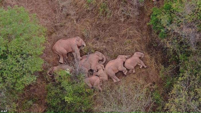 Стадо слонов в Китае отдыхает после 300-мильного похода с момента побега из заповедника