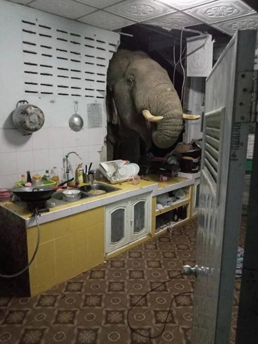 Голодный слон в Таиланде проломил кухонную стену дома в поисках еды