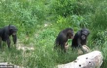 Ученые считают, что шимпанзе «Конго» проливает свет на то, как первые люди научились двигаться вместе синхронно