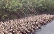 Китай посылает армию из 100 000 уток к границе, чтобы бороться с саранчой из Африки