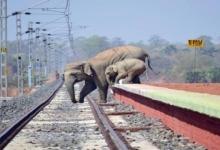 Слоны так боятся пчел, что в Индии транслируют жужжание, чтобы слоны держались подальше от ж/д путей