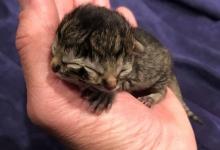 Знакомьтесь Печенька и Соус, котёнок, который только что родился с двумя мордочками