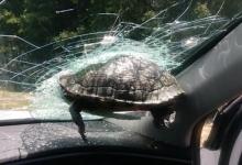 Пассажиру легкового автомобиля чуть не отсекло голову, когда черепаха влетела в лобовое стекло