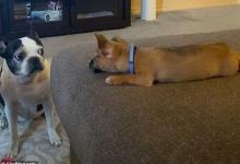 Пожилая собака не очень дружелюбно встретила молодого щенка своего владельца в очаровательном видео